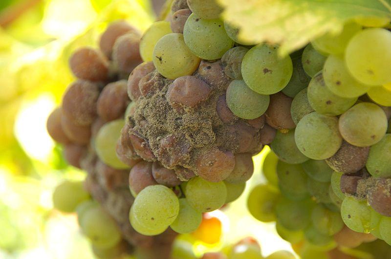 800px-Sauternes_noble_rot_grapes
